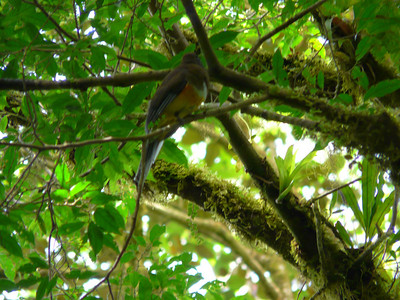 Female orange bellied trogon, another new one to my list