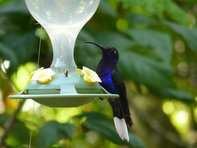 "Walked next door to the hummingbird gallery, (free) it has lots of  outside feeders and tons of hummers. This is the Violet Sabrewing, a beauty at 6 "". Loved her"