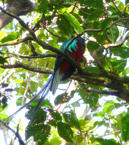 "We are back at the office at 8AM (when it opens). 17USD pp/entrance fee.We hire a guide, (17USD total ) I really want to see a Resplendent Quetzal (isn't that a wonderful name?) and a 3 wattled bell-bird.I tell the guide that's what I'd like to see. He says,"" maybe a quetzal"", and that people come from all over the world (sometimes more than once)to see one and they go home disappointed. And he doesn't think we will see a bell bird. So off we go, and here is the first bird we see!! Isn't he a beauty?? He does have a head ....hahaha. I was so excited, I was jumping for joy grinning from ear to ear."