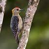Hoffman's Woodpecker, Hotel Bougainvillea