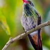 Rufous-tailed Hummingbird, Hotel Bougainvillea