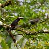 Collared Aracari, La Selva