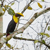 Chestnut-mandibled Toucan, La Selva