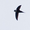 Lesser Swallow-tailed Swift, La Selva