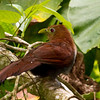 Squirrel Cuckoo, La Selva