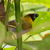 Black-faced Grosbeak, La Selva