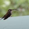 Long-billed Hermit, La Selva