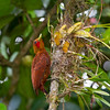 Chestnut-colored Woodpecker, La Selva