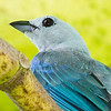 Blue-gray Tanager, La Selva