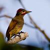 Golden-olive Woodpecker, Rancho Naturalista