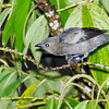 Palm Tanager, Rancho Naturalista