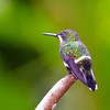 Green Thorntail, female, Rancho Naturalista