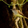 Dusky-capped Flycatcher, Rancho Naturalista