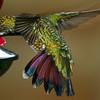 Green-breasted Mango, female, Rancho Naturalista