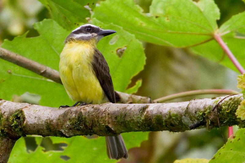 Golden-bellied Flycatcher, Tapanti