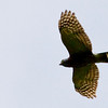Double-toothed Kite, Tapanti