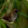 Black-faced Antthrush, Carara