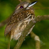 White-whiskered Puffbird, Carara