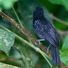 Black-hooded Antshrike, male, Carara