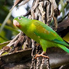 Orange-chinned Parakeet, Punta Leona