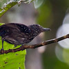 Black-hooded Antshrike, female, Carara
