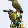 Turquoise-browed Motmot, Tarcoles River