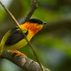 Orange-collared Manakin, Carara