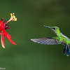 Hummingbird and flower, Central Highlands, Costa Rica.
