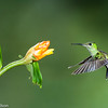 Hummingbird approaches a flower, Central Highlands, Costa Rica.