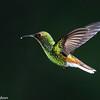 Hummingbird in flight, Central Highlands, Costa Rica.