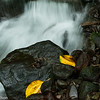 Three golden leaves on the rocks next to a waterfall in the cloud forest of Bosque de Paz preserve.