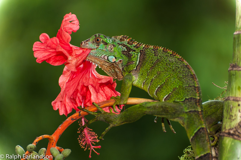 A Green Iguana eats a Hibiscus in the Central Highlands of Costa Rica.