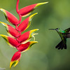 Hummingbird and Heliconia flower, Central Highlands, Costa Rica.