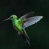 Hummingbird hovers in flight, Central Highlands, Costa Rica.
