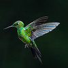 Hummingbird hovers in flight, Central Highlands, Costa Rica.