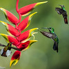 A trio of Hummingbirds and Heliconia flower, Central Highlands, Costa Rica.