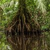 An aerial root system and reflections in Tortuguero National Park.