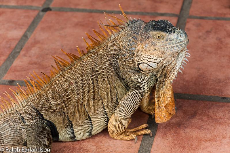 A Green Iguana in Costa Rica.