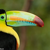 Close-up of a Keel-Billed Toucan at La Paz Waterfall Gardens.