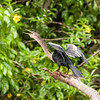 An Anhinga in Tortuguero National Park.