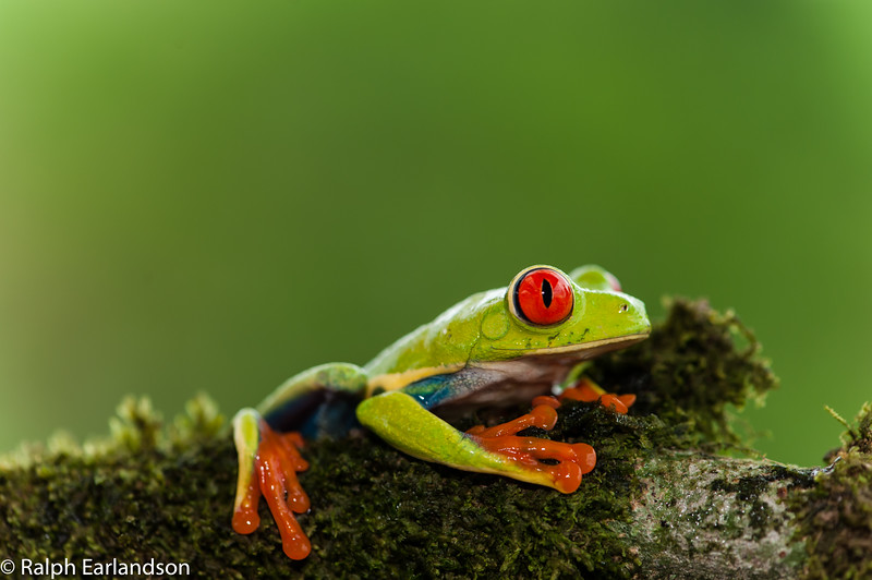 A Redeye Tree Frog in the Central Highlands of Costa Rica.