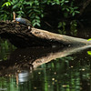 A Black River Turtle in Tortuguero National Park.