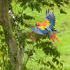 Scarlet Macaw, Costa Rica.