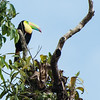 A Keel-Billed Toucan, high in a tree, in Tortuguero National Park.
