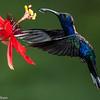 Hummingbird with a drop of nectar, Central Highlands, Costa Rica.