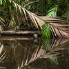 Palm fronds and reflections in Tortuguero National Park.