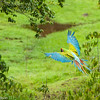 An endangered Great Green Macaw, Costa Rica.