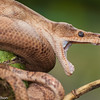 An Annulated Tree Boa opens wide in the Central Highlands of Costa Rica.