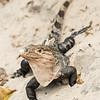 black striped Iguana