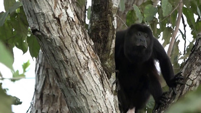 Howler Monkey Video